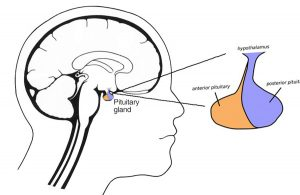 Drawing of the pituitary gland in the human brain